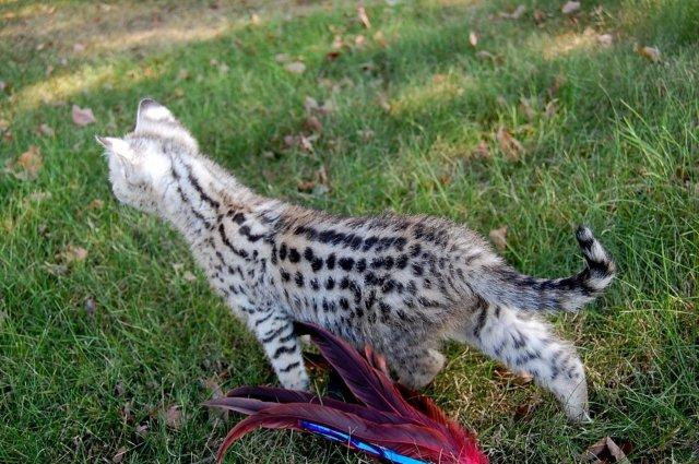 Amara Savannah Cat Past Kittens Savannah Cats And Savannah Kittens F1 Savannah Cats F1 Savannah Kittens F2 Savannah Kittens For Sale Amara Savannahs