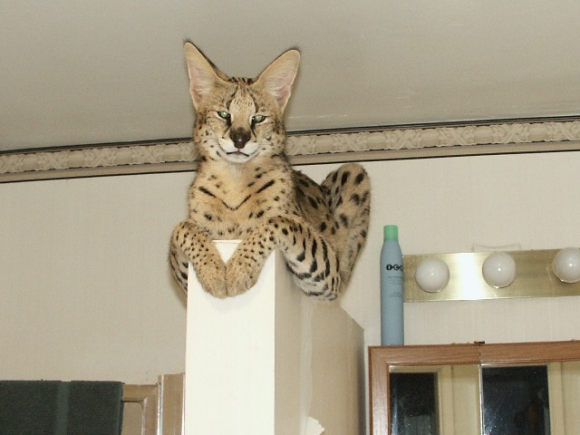 F1 Savannah Cat Savannah Cats Amara Savannah Cats F1 Savannahs F1 Cute Funny Cat Wallpaper